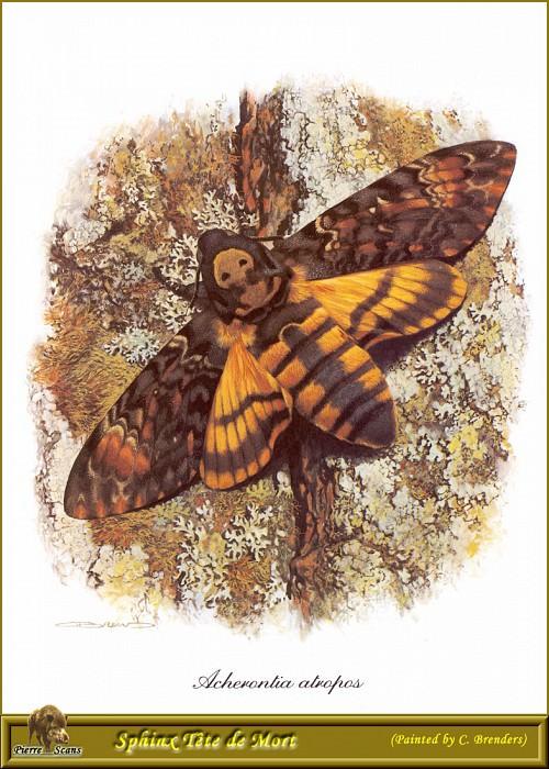 Сумеречная бабочка Мертвая голова. Карл Брендерс