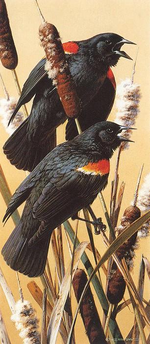 kb Brenders Carl Red Winged Blackbirds. Карл Брендерс