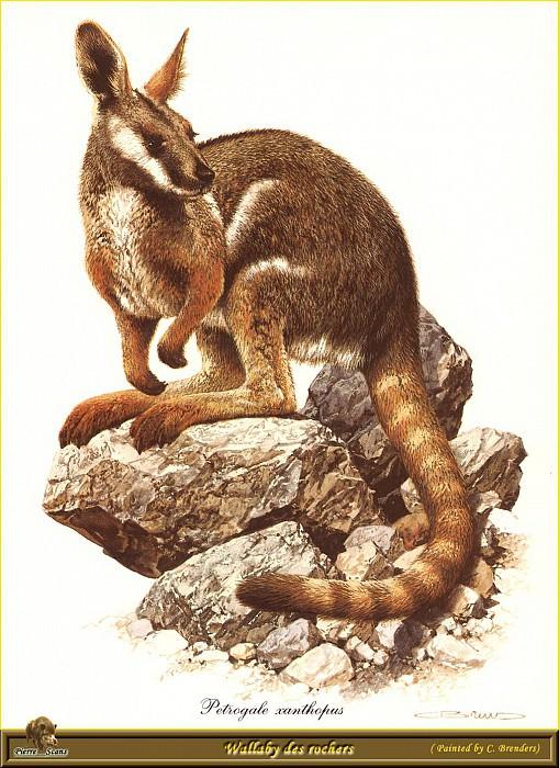 Кенгуру-валлаби, обитающий в скалах. Карл Брендерс