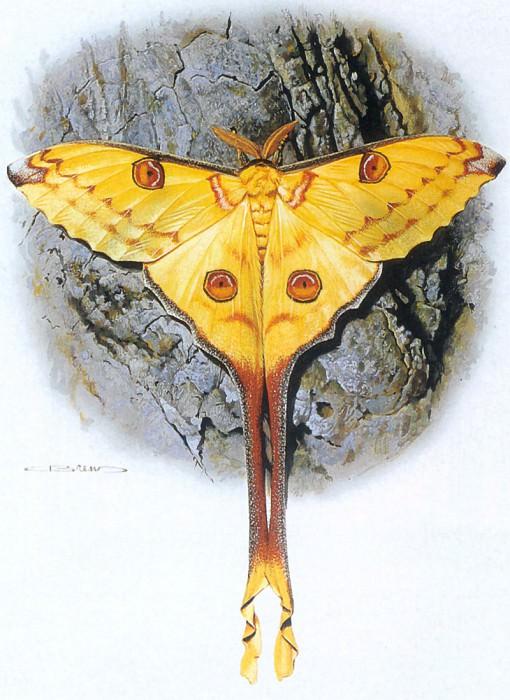 kb Brenders Carl-Madagascar Moon Moth. Карл Брендерс