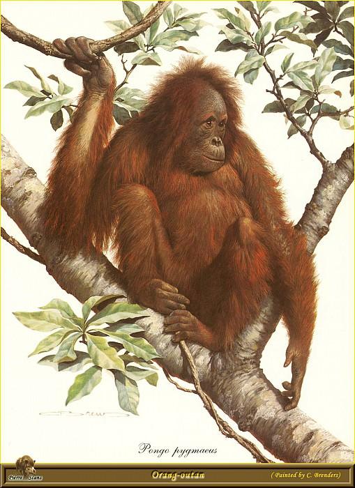 Орангутан. Карл Брендерс