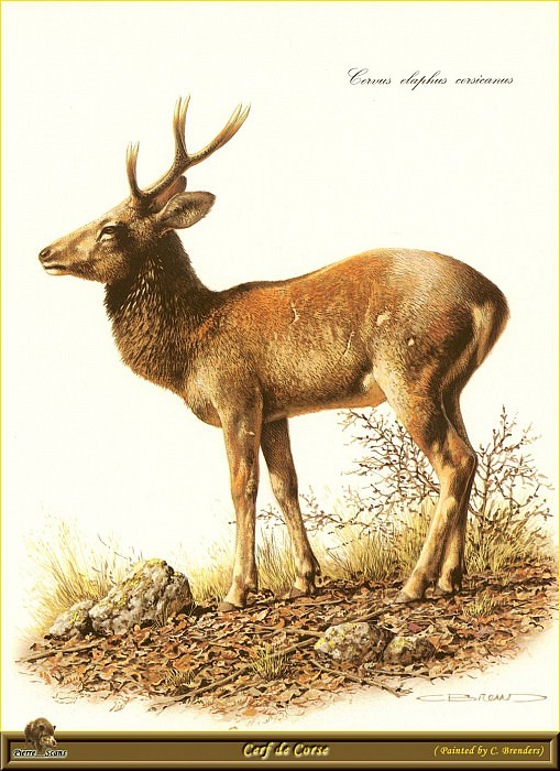 Корсиканский олень. Карл Брендерс