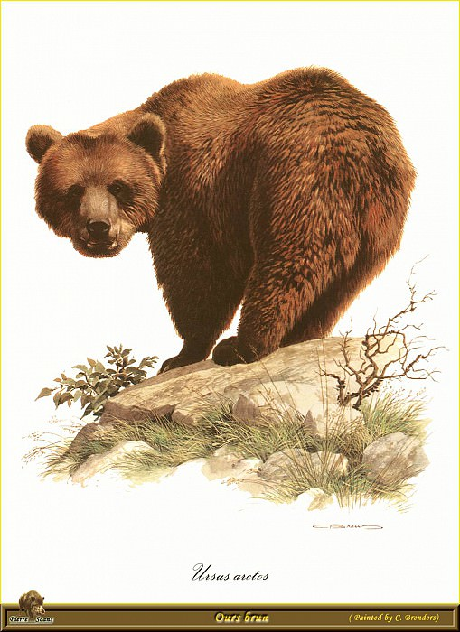 Бурый медведь. Карл Брендерс