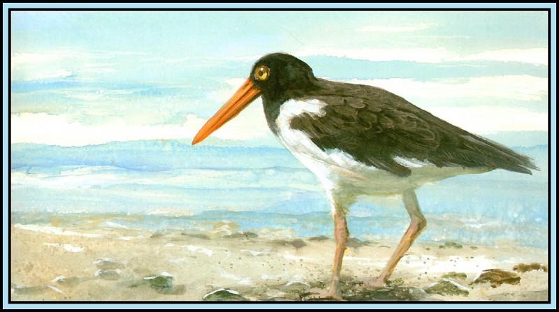 Oystercatcher 2. Roger Bansemer