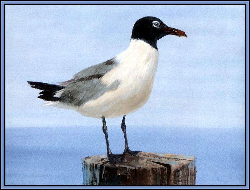 Laughing Gull 1(Summer). Roger Bansemer
