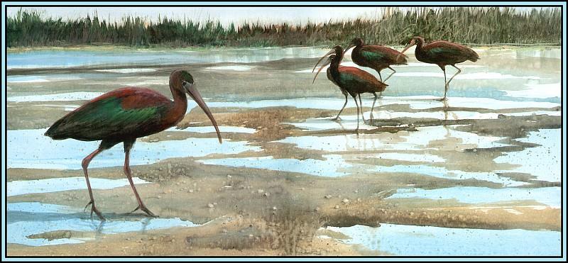 Glossy Ibis 1. Roger Bansemer