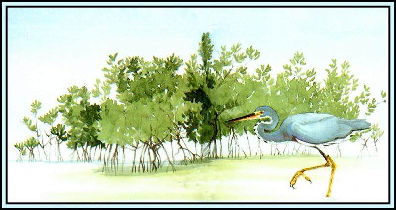 Tricolored Heron 2. Roger Bansemer
