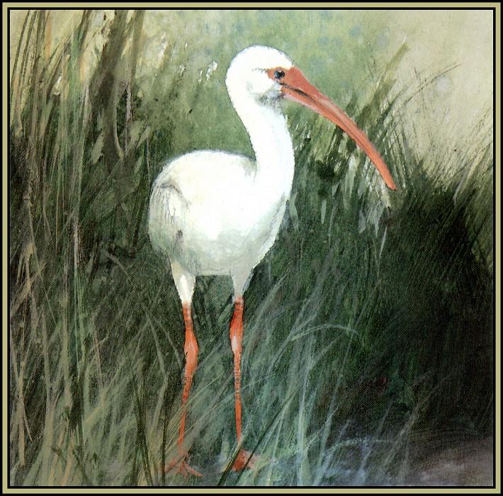 White Ibis 3. Roger Bansemer