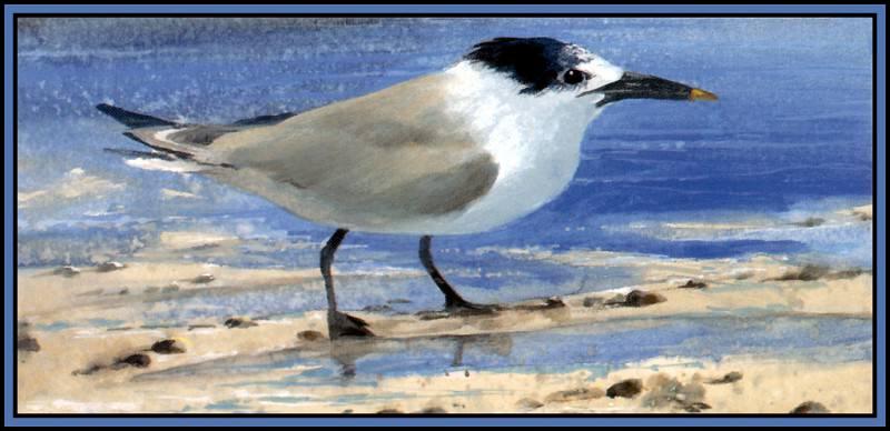 D50-AWE143-RB-Sandwich Tern 2(Winter). Роджер Бансмер