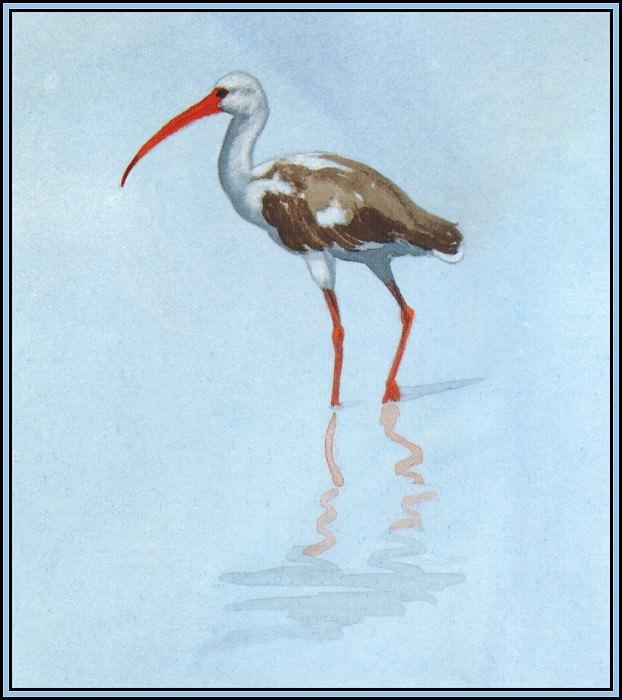 White Ibis 4 (Juvenile). Roger Bansemer