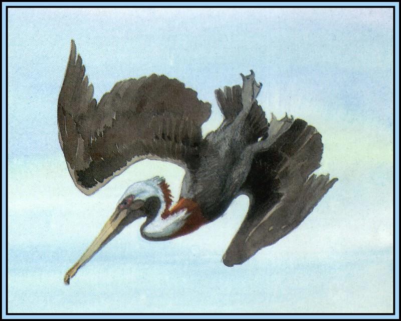 Brown Pelican 8. Roger Bansemer