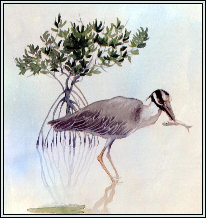 Yellow Crowned Night Heron 1. Roger Bansemer
