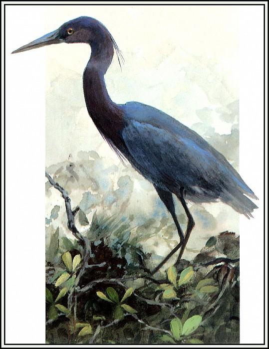Little Blue Heron 2 (adult). Roger Bansemer