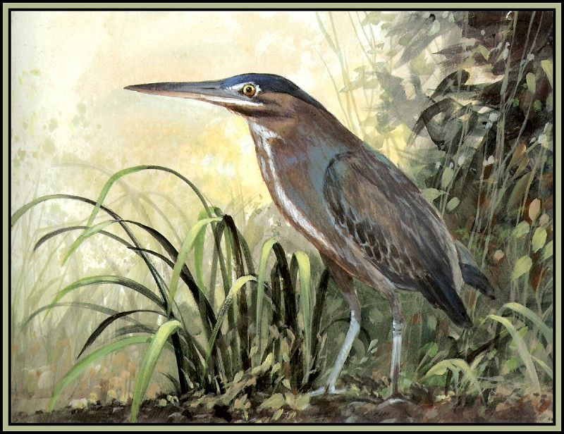 Green Backed Heron 3. Roger Bansemer