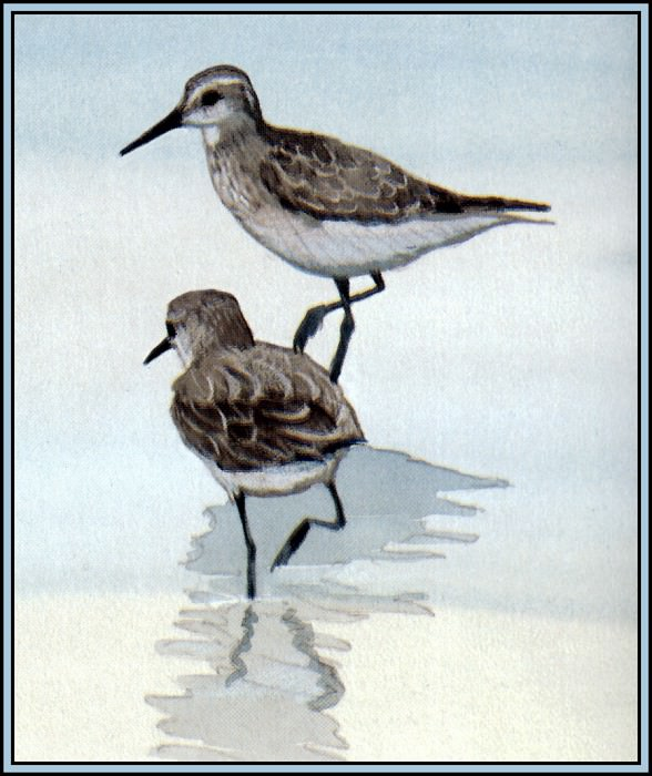 D50-AWE118-BR-Red Knot 1. Роджер Бансмер
