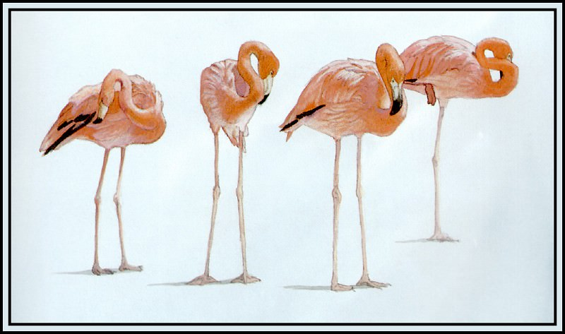 Flamingo 2. Roger Bansemer