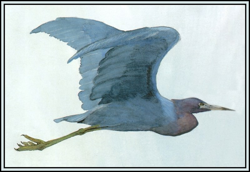 Little Blue Heron 1. Roger Bansemer