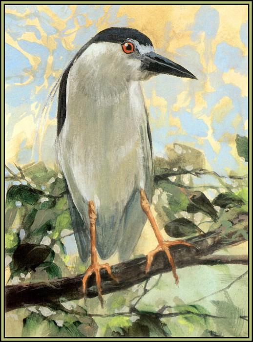 Black Crowned Night Heron 2. Roger Bansemer