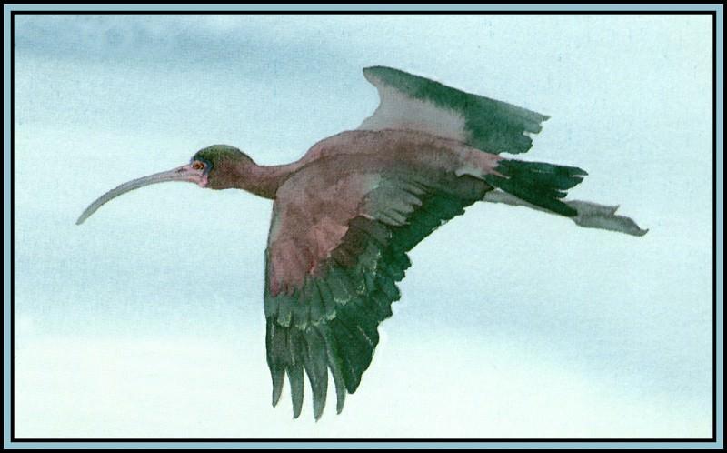 Glossy Ibis 2. Roger Bansemer