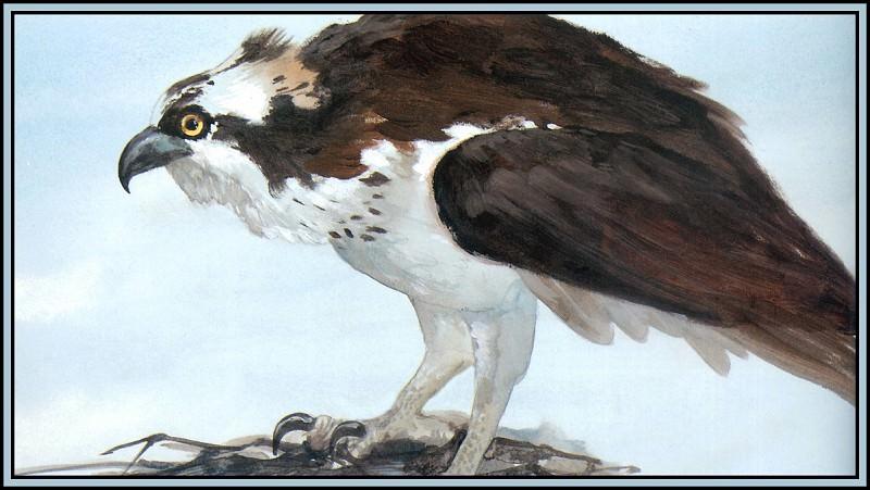 Osprey 2. Roger Bansemer