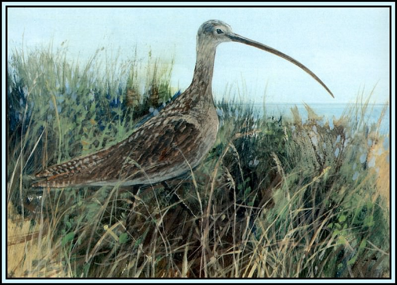 Long Billed Curlew. Roger Bansemer