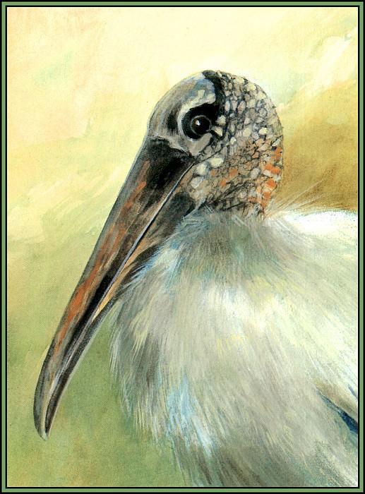 Stork 4. Roger Bansemer