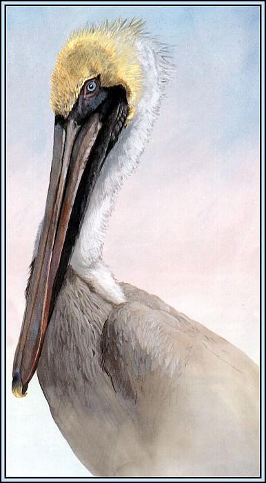 Brown Pelican 10. Roger Bansemer
