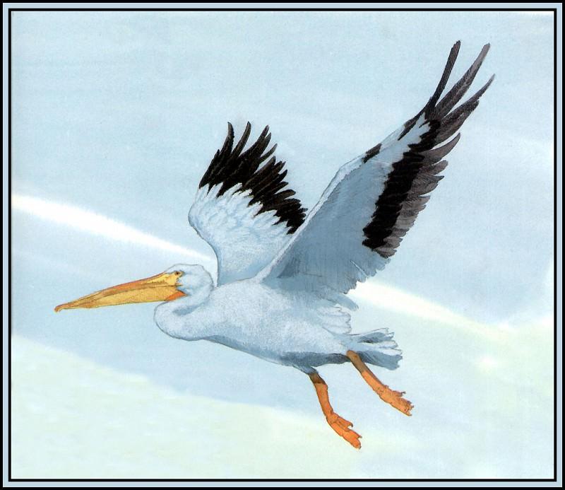 White Pelican 1. Roger Bansemer