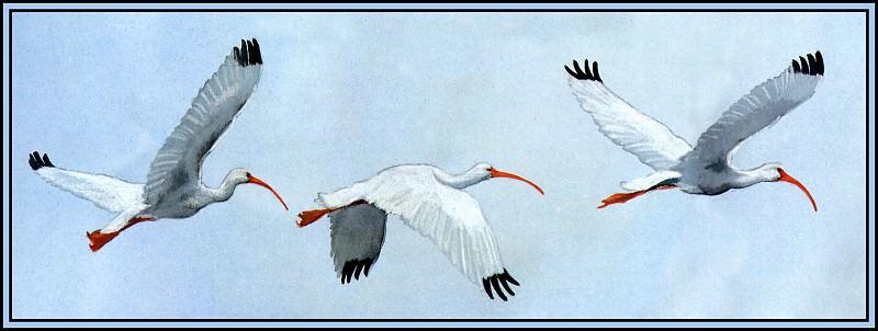 -White Ibis 1. Roger Bansemer