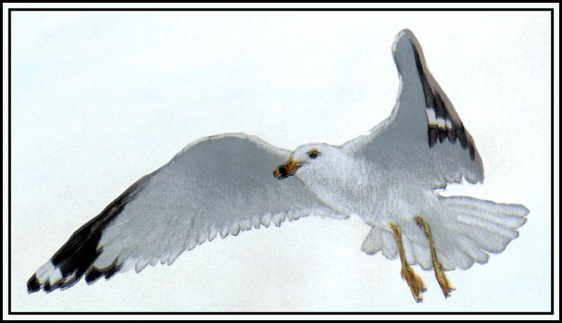 Ring-Billed Gull 1. Roger Bansemer