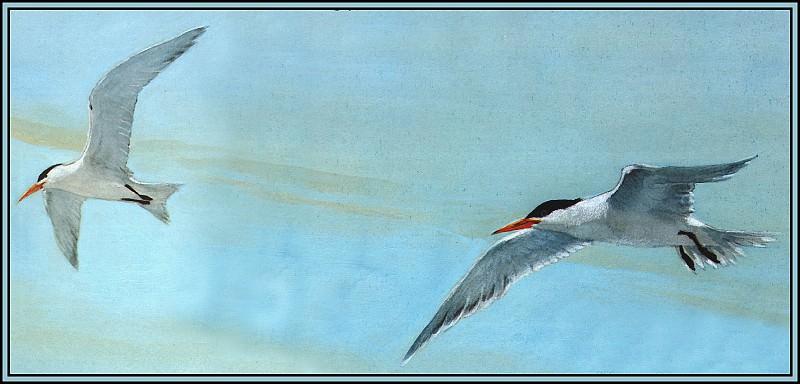 Royal Tern 1(Summer). Roger Bansemer