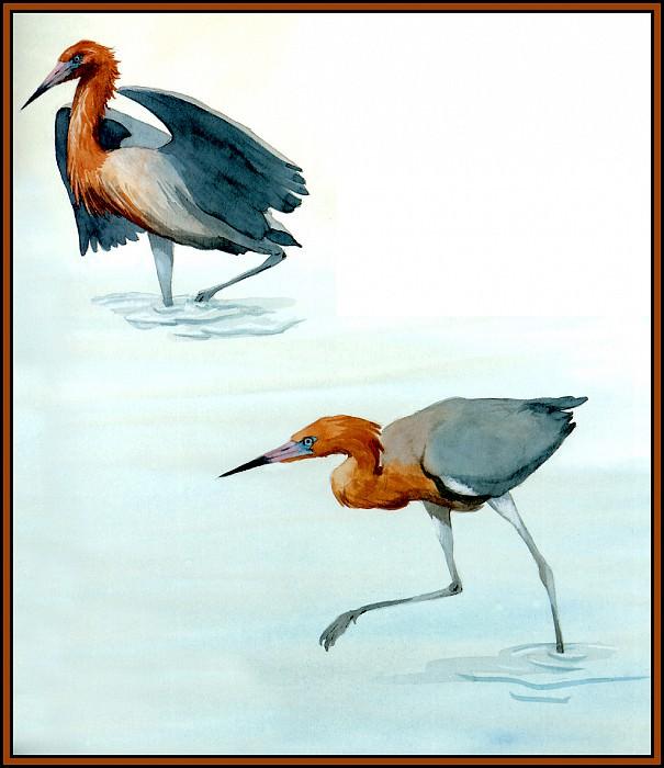 Reddish Egret 2. Roger Bansemer
