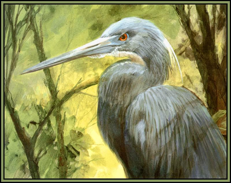 Tricolored Heron 1. Roger Bansemer