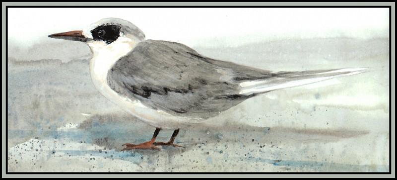 Forsters Tern (Winter). Roger Bansemer