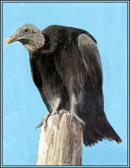 Black Vulture. Roger Bansemer