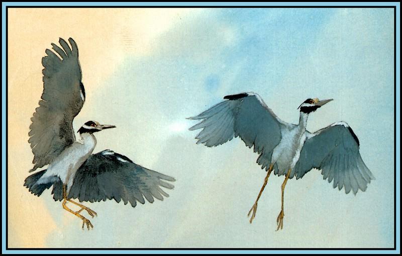 Yellow Crowned Night Heron 2. Roger Bansemer
