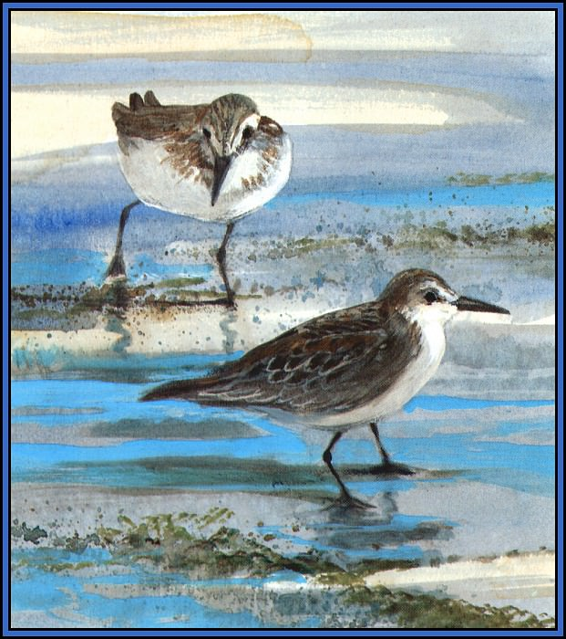 D50-AWE123-RB-Semipalmated Sandpiper. Roger Bansemer