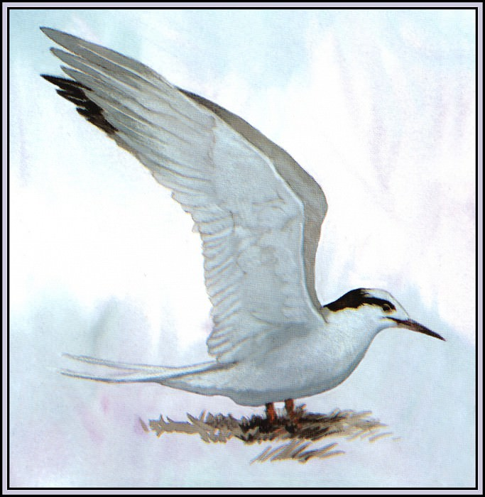 Common Tern(Winter). Roger Bansemer