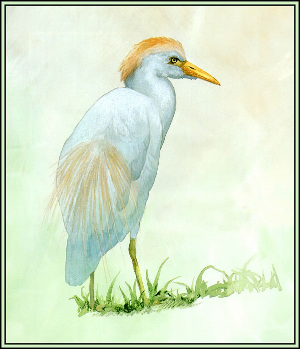 D50-AWE025-BR-Cattle Egret 1. Roger Bansemer