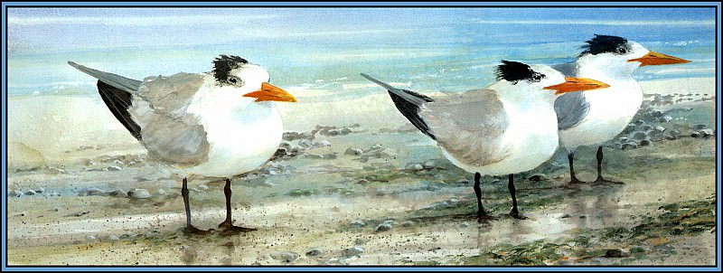 Royal Tern 2(Winter). Roger Bansemer
