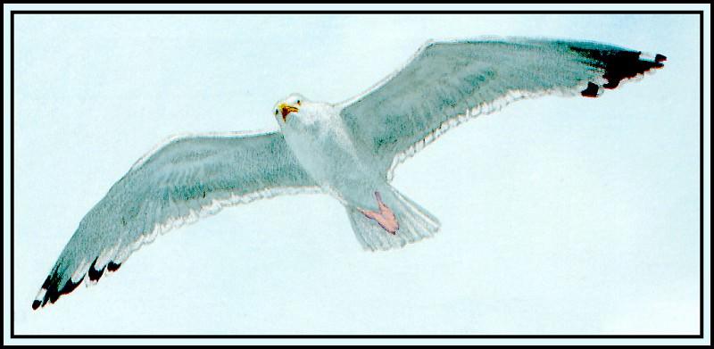 Herring Gull 2. Roger Bansemer