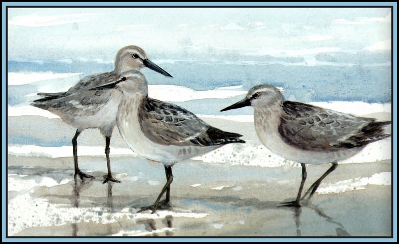 D50-AWE119-RB-Red Knot 2. Roger Bansemer