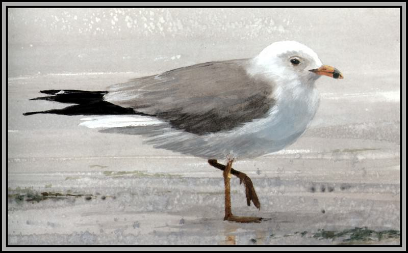 Ring-Billed Gull 2. Roger Bansemer