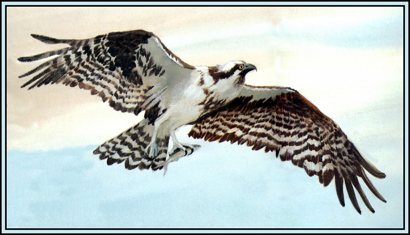 Osprey 1. Roger Bansemer