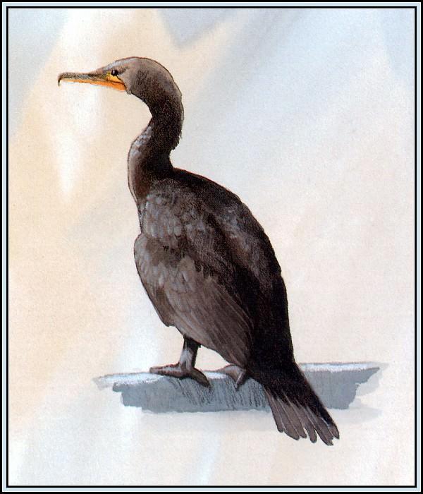 Cormorant 4. Roger Bansemer