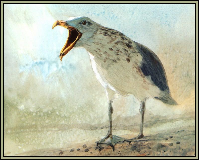 Herring Gull 3. Roger Bansemer