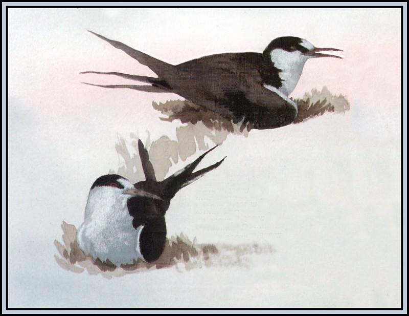 Sooty Tern. Roger Bansemer