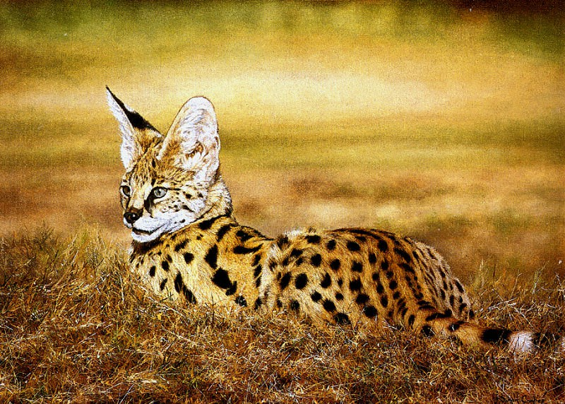 Serval Cat. Simon Combes