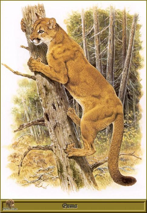 Puma. Robert Dallet