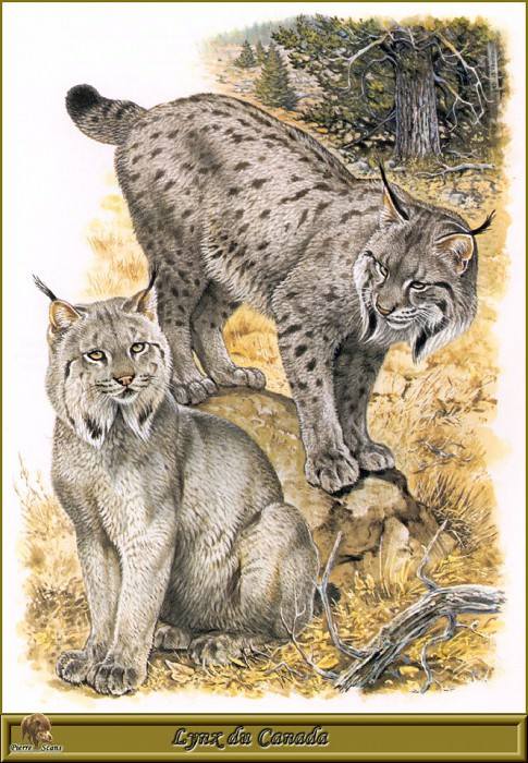 Lynx du Canada. Robert Dallet